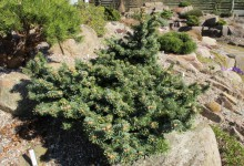 Abies magnifica v shastensis