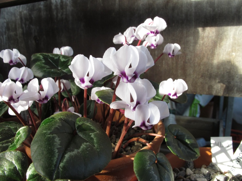 Cyclamen coum album scented