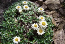 Helichrysum sessiloides