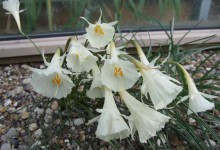 Narcissus albidus ssp occidentalis