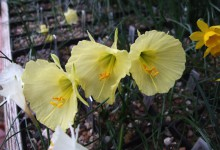 Narcissus bulbocodium v nivalis GBH