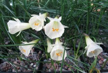 Narcissus bulbocodium x cantabricus
