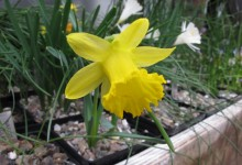 Narcissus asturiensis 'Wavertree'